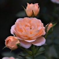 Цветёт под ярким солнцем роза крымская... :: Наталья Natupans