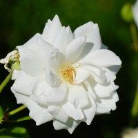 Белая роза :: Сергей Беляев