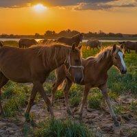 Лошади на пастбище берега Волги :: Фёдор. Лашков