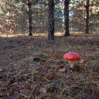 Красный, в пятнах, мухомор,  Украшает тёмный бор... :: Елена Струкова