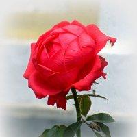 Про красную розу :: Сергей Карачин