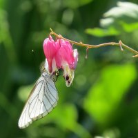 Бабочка :: Елена Лапина