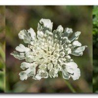 три цветка IMG_6315-66 :: Олег Петрушин