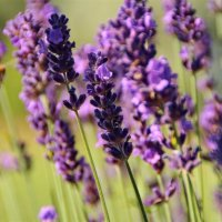 Запах лаванды – это запах доброй сказки, теплого лета, хороших воспоминаний :: Татьянка *