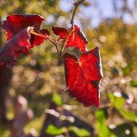 Красный лист осени :: Сергей Волков
