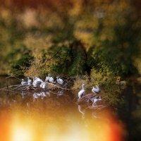 Пеликаны :: Эльмира Суворова