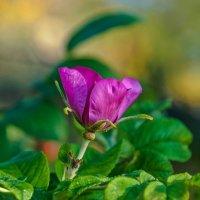Сентябрьский цветок шиповника :: Aquarius - Сергей