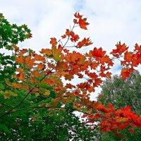 Красные листья клена :: Натала ***