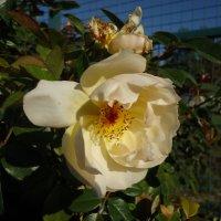 Как сладок аромат последних роз :: Ирина