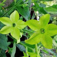 Два зелёных цветочка :: Leonid Tabakov
