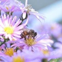 Пчелка :: Барашег Альпийский