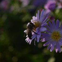 Пчела в тени :: Барашег Альпийский