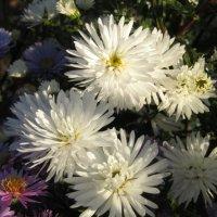 """...Цветут у меня сентябринки под осень, когда холода..."" :: Galaelina ***"