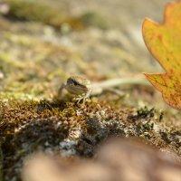 Ящерица на камне :: Барашег Альпийский