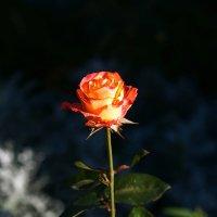 Роза. :: Александр Романов