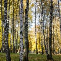 Берёзы в парке :: Владимир Буравкин