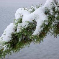 Снег на лапе :: Владимир Субботин