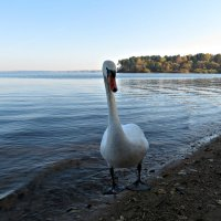 Лебедь :: Михаил Цегалко