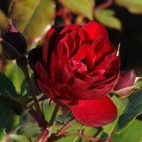 Красная роза октября :: Татьяна Георгиевна
