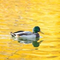 Утка в золотом пруду :: Alex Bush