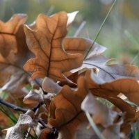 Дубовые листья :: Татьяна Ларионова