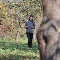 Яблочный 18-ый год продолжается и в октябре :: Светлана Былинович