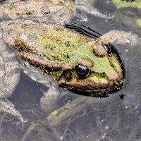 Царевна-лягушка. :: petyxov петухов