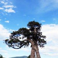 Старое дерево :: Наталья (D.Nat@lia) Джикидзе (Берёзина)