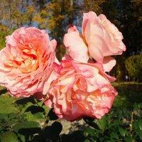 Очарование осенних роз :: Ирина