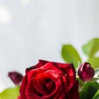 роза в банке :: Ustas FritZZZ