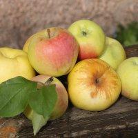 Мои яблоки :: ZNatasha -