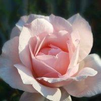 Роза тоже рада солнцу :: Татьяна