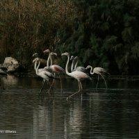 Фламинго Израиля :: Shmual & Vika Retro