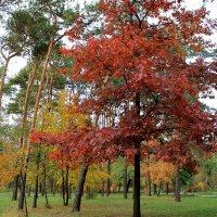 Красные дубы :: tina kulikowa