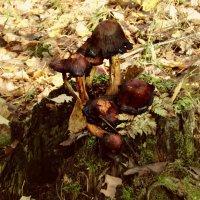 Грибы-грибочки растут на пенёчке... :: Vladimir Perminoff