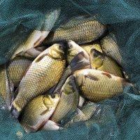 Карасиная рыбалка :: Константин Анисимов