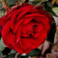Осеннее цветение роз. фото-5. :: Nata