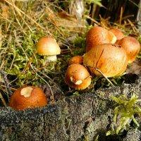 Ещё растут в лесу  грибы :: Милешкин Владимир Алексеевич