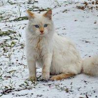 Рыжик на первом снегу - белый на белом :: Светлана Рябова-Шатунова