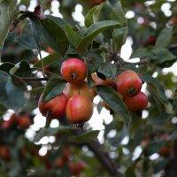 Яблочки :: dindin