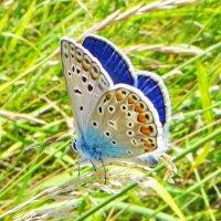 """*Polyommatus icarus (Rottemburg, 1775) — Голубянка икар"""" Самец :: vodonos241"""