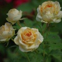 Розы в моем саду :: * vivat.b *