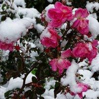 Розы под снегом :: Милешкин Владимир Алексеевич