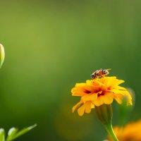 Пчела :: Сергей Горохов