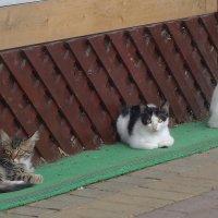Сочинские кошки :: Маргарита Батырева