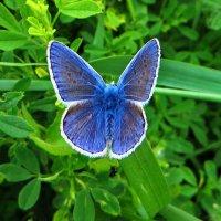 Голубянка Икар :: vodonos241