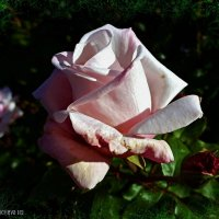 Осенняя роза :: Nina Yudicheva