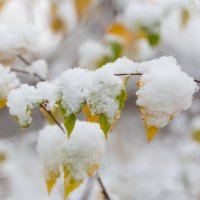 Листья под снегом :: Александр Синдерёв