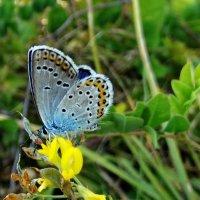 *Голубянка аргус - Plebeius argus. . :: vodonos241