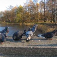Царскосельские голуби :: Наталья Герасимова